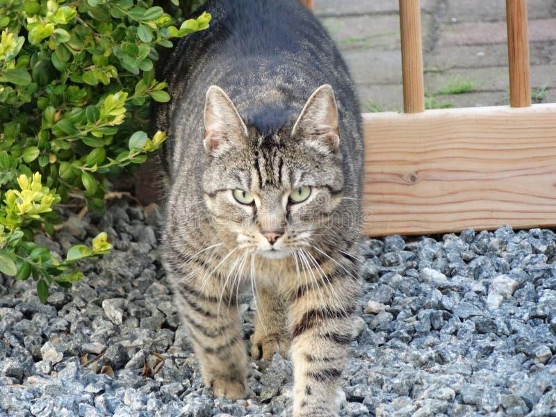 Miradas inminentes del gato serias imágenes de archivo libres de regalías