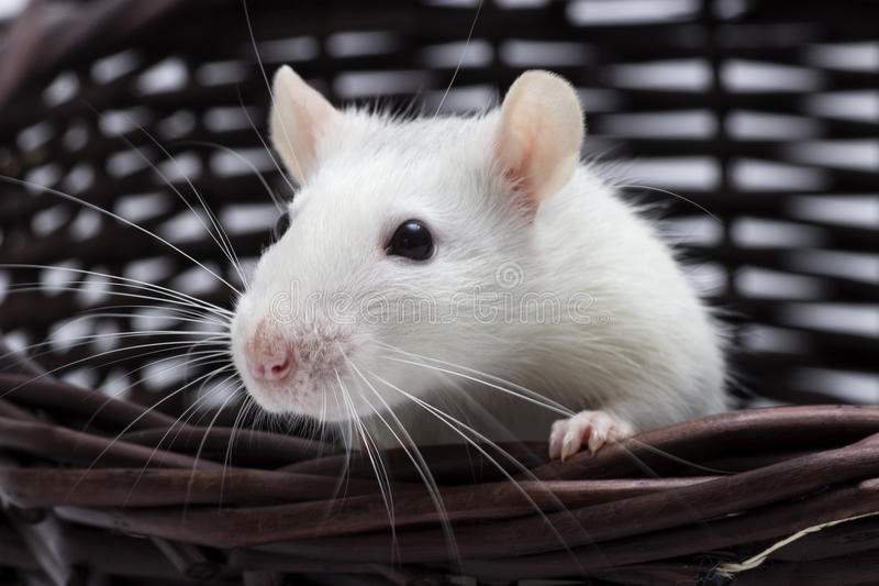 Miradas lindas de la rata imagen de archivo