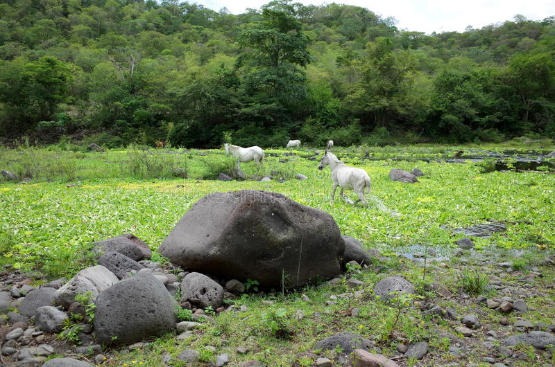 Miraflor Nature Reserve. Wild horses playing near the river in the Miraflor Nature Reserve near Esteli, Nicaragua stock photography