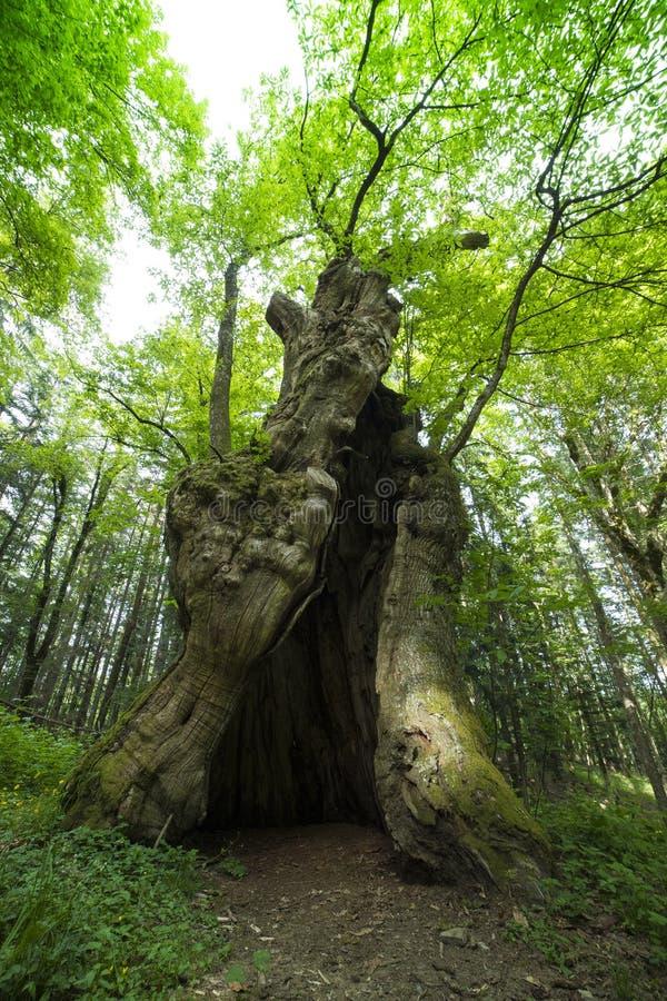 The Miraglia chestnut tree in Camaldoli, Italy. Close up shot royalty free stock photography