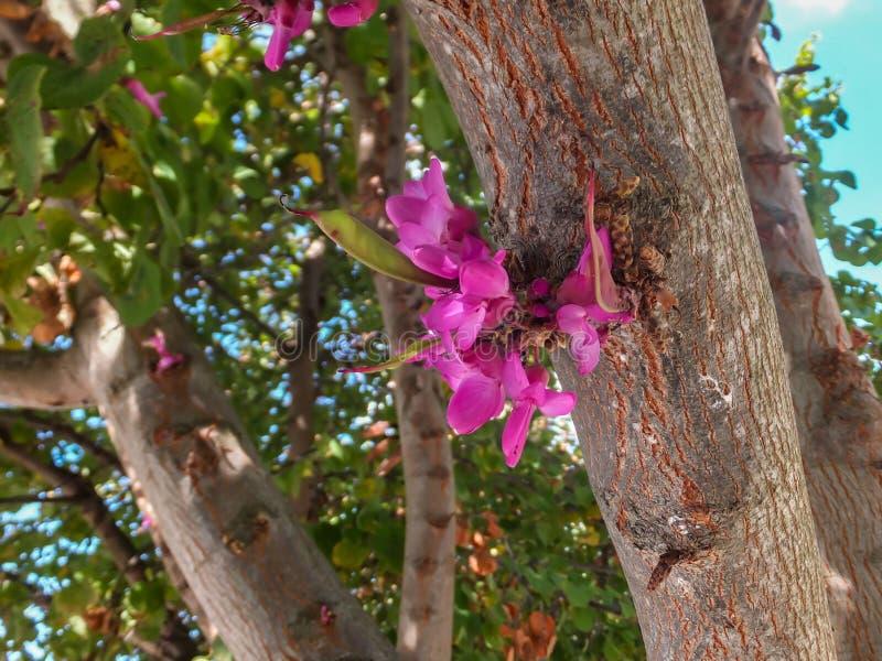 Mirakel av naturen - purpurfärgat växa för blommor som är rakt från en trädstam Närbild av vårblomningen av östliga Redbud eller  arkivfoto