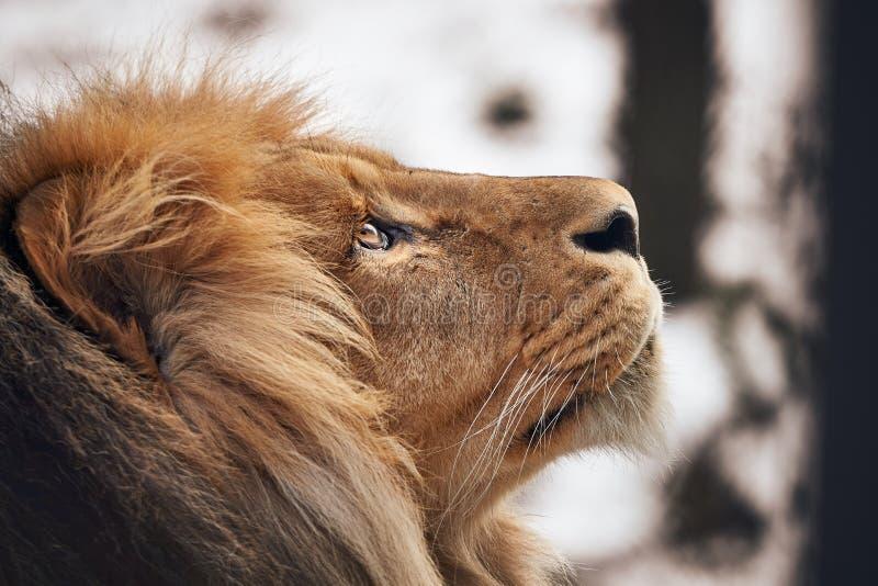 Mirando al león imágenes de archivo libres de regalías