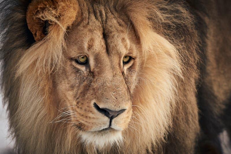 Mirando al león imagen de archivo