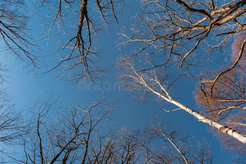 Mirando para arriba el cielo en el bosque, otoño la meseta de Senjogahara en el parque nacional de Nikko, Nikko Tochigi, Japón fotos de archivo libres de regalías