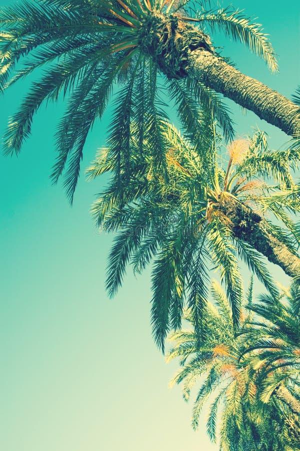 Mirando para arriba perspectiva en la fila de palmeras en Toned encienda el fondo del cielo de la turquesa espacio de la copia de foto de archivo