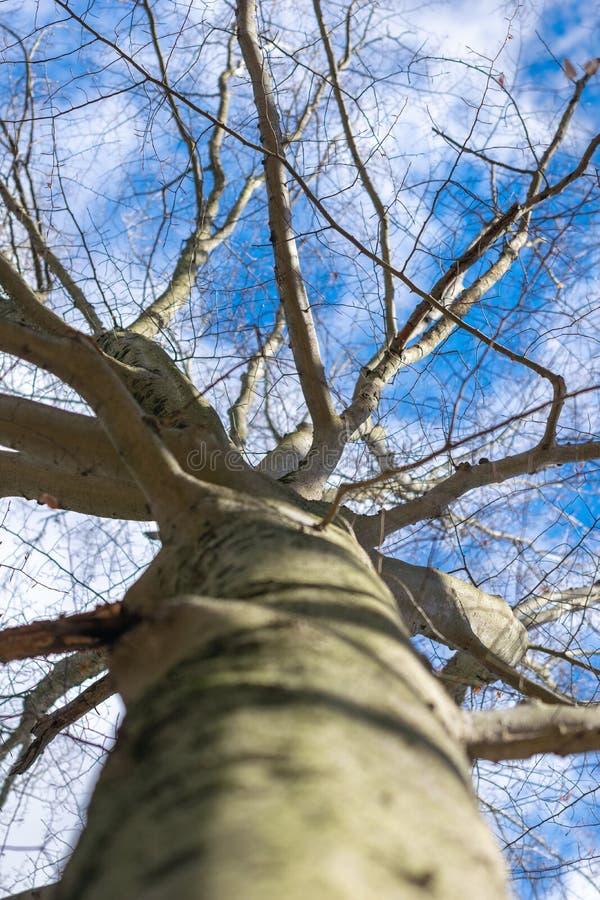Mirando para arriba un tronco de árbol, hacia ramas deshojadas y un cielo azul claro del invierno imágenes de archivo libres de regalías
