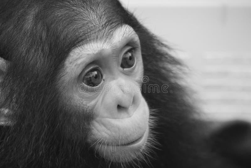 Mire adentro a los ojos del pequeño chimpancé fotografía de archivo