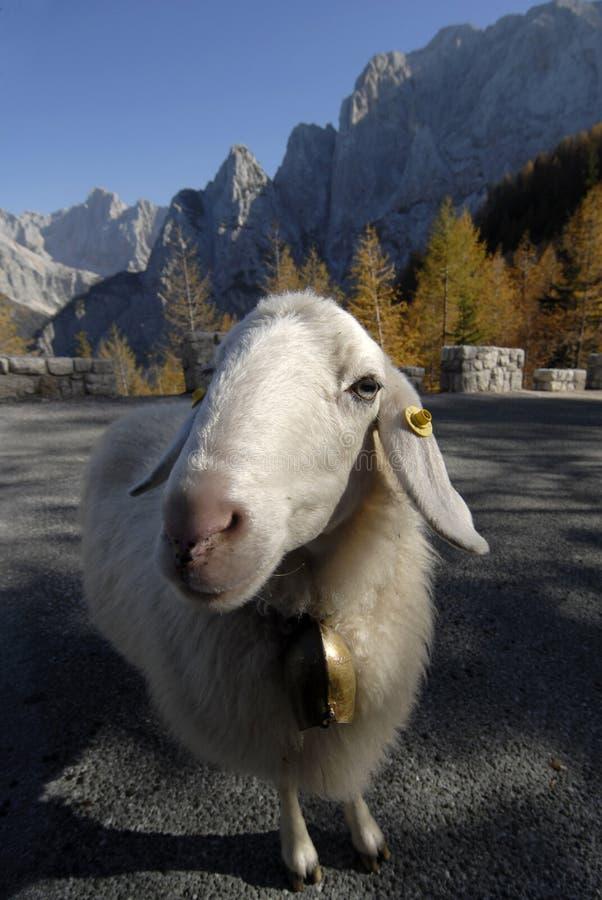 Mire de una oveja fotografía de archivo
