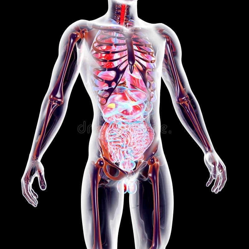 Mire El Cuerpo Humano Interior Stock de ilustración - Ilustración de ...