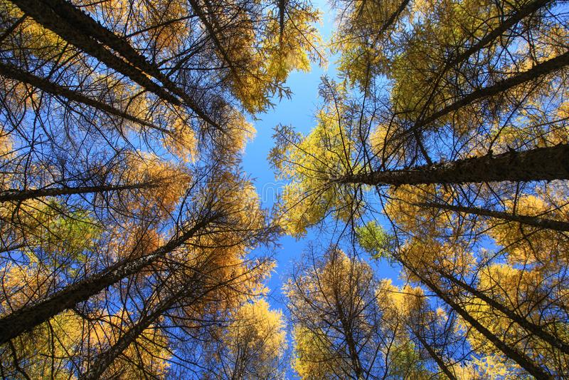 Mire para arriba de árboles en sol media en Wulanbutong en Inner Mongolia fotos de archivo