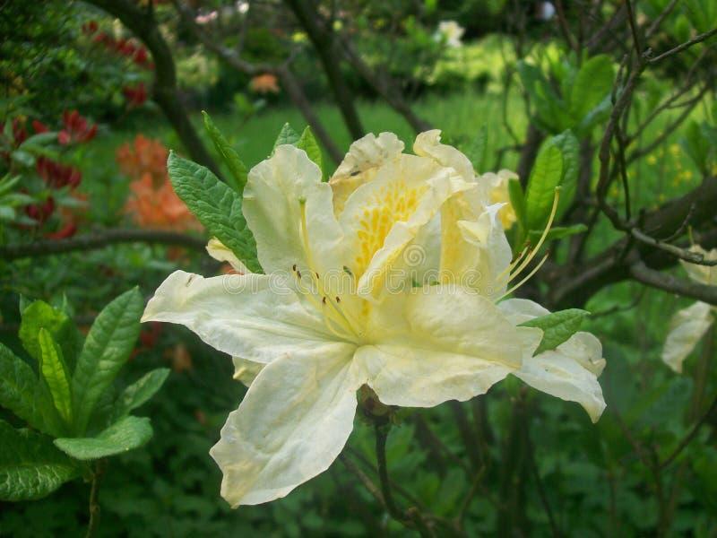 Miriam rhododendron royaltyfri bild