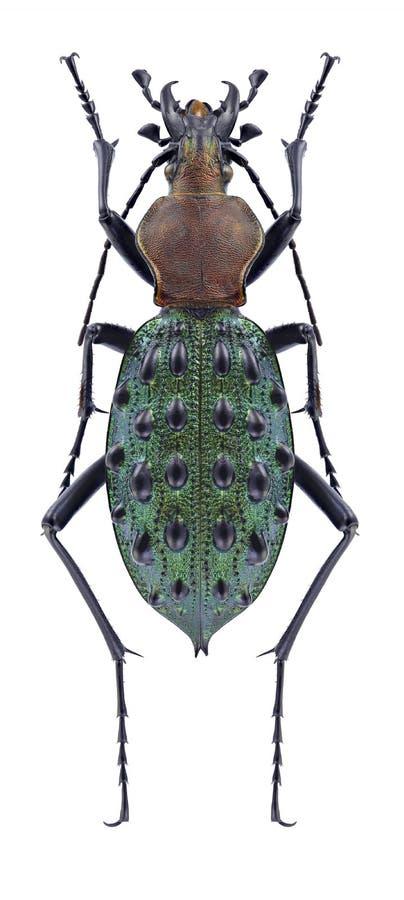 Mirificus del mirificus de Damaster del escarabajo imagenes de archivo