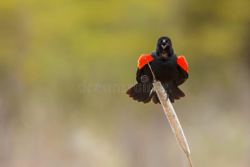 Download Mirlo de alas rojas foto de archivo. Imagen de winged - 41913300