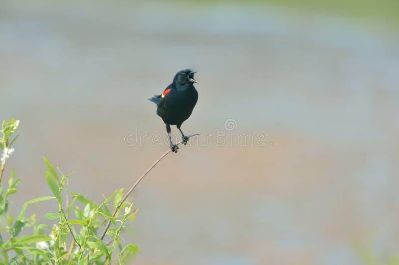 Download Mirlo de alas rojas foto de archivo. Imagen de rojo, pájaro - 42444172