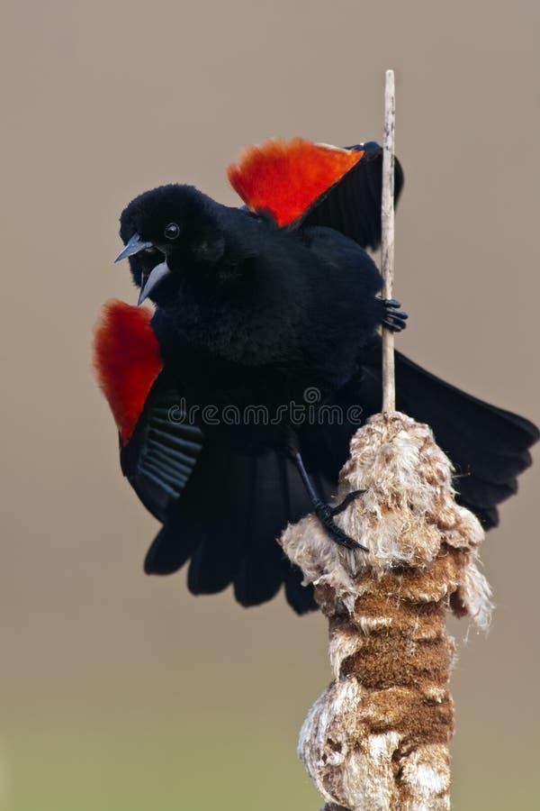 Mirlo de alas rojas imagen de archivo libre de regalías