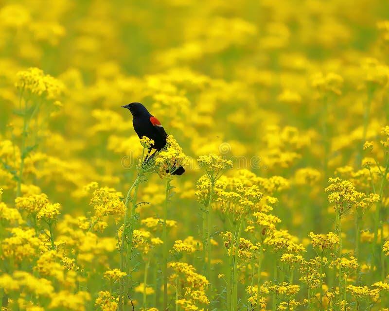 Mirlo de alas rojas encaramado en un campo de la mala hierba de la mantequilla imagenes de archivo