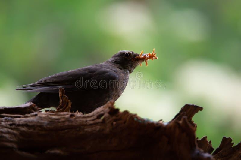 Mirlo femenino con muchos gusanos de harina en la cuenta que se sienta en una raíz del árbol fotos de archivo libres de regalías