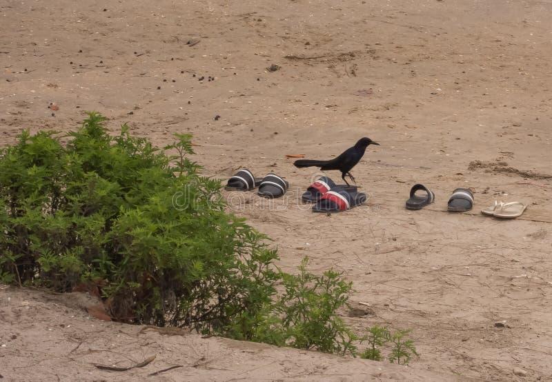 Mirlo que intenta en las sandalias en la playa fotografía de archivo libre de regalías