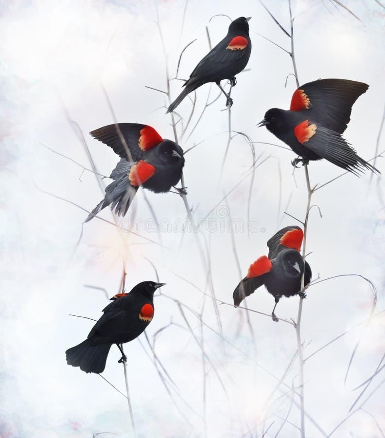 Mirlos de alas rojas foto de archivo