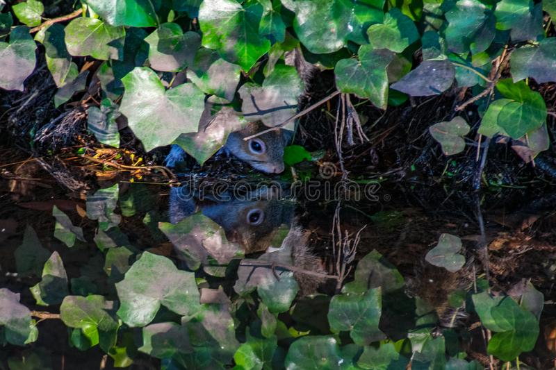 Mirror image water reflection as a grey squirrel drinks water from a river whilst hiding under vegetation stock image
