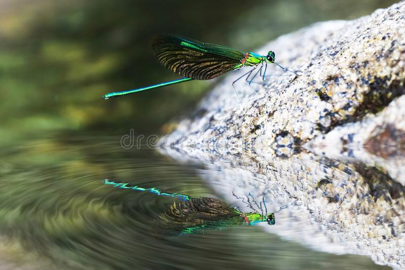 Mirror reflection of Beautiful blue damselflies on a rock in waterfall royalty free stock image