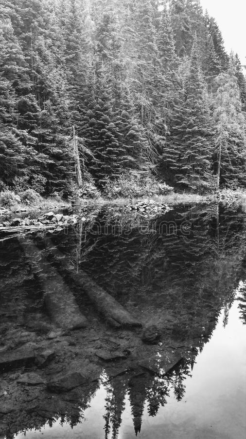 Mirror view of a lake in Algonquin Park, Ontario, Canada. Black and white mirror view of a lake with spruces and sunk trees at the bottom in Algonquin Provincial stock photos