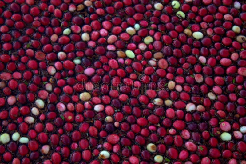 Mirtilli rossi immagine stock