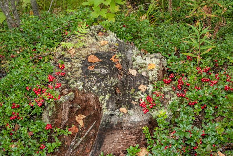 mirtilli rossi di autunno che crescono su un vecchio ceppo marcio muscoso Lingonberries rossi nella radura della foresta fotografia stock