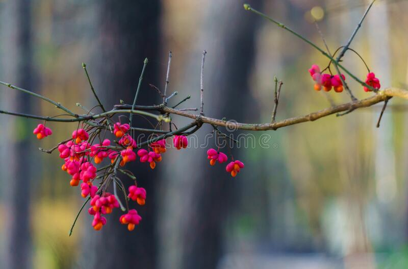Mirtilli rossi di efedra in conchiglie rosa su rami in autunno immagini stock libere da diritti