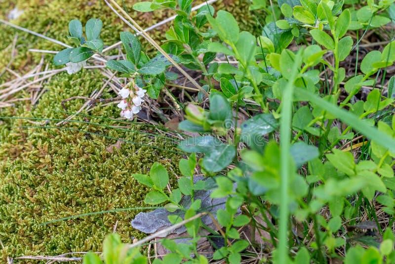 Mirtillo europeo in fioritura in foresta a giugno immagini stock libere da diritti