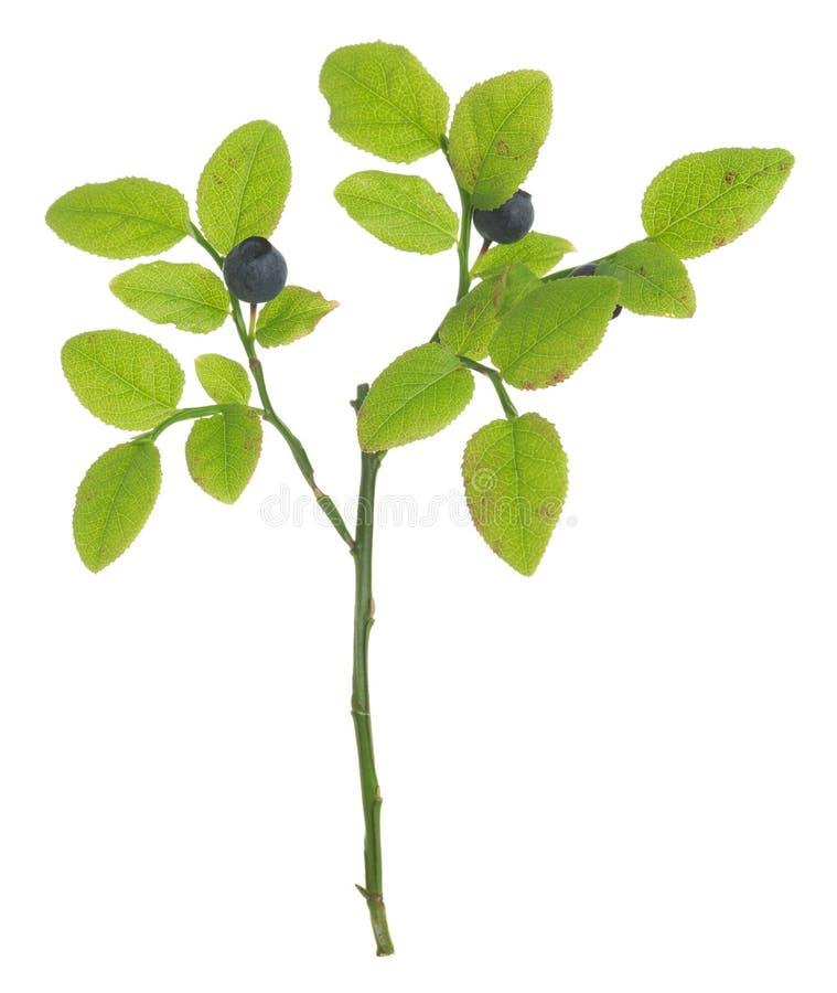 Mirtillo europeo, pianta di vaccinium myrtillus con le bacche mature isolate su fondo bianco immagine stock libera da diritti