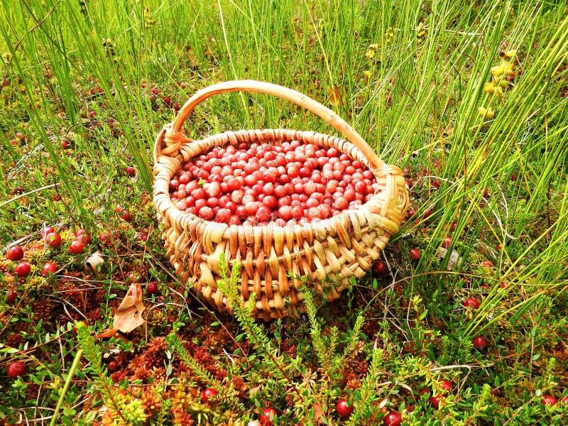Mirtillo maturo rosso in vimine in palude, Lituania fotografie stock