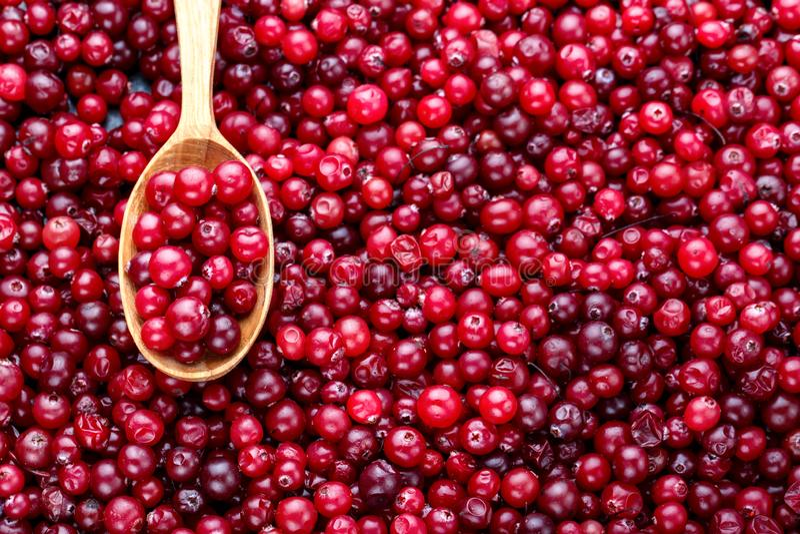Mirtillo rosso rosso fresco della foresta Raccolto di autunno delle bacche selvatiche fotografia stock