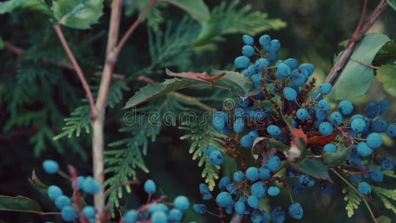 Mirtilo que cresce em um jardim botânico video estoque