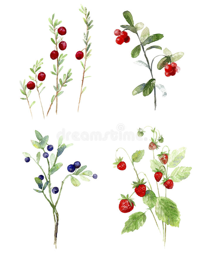 Mirtilos, arando, ilustração da aquarela das morangos ilustração stock
