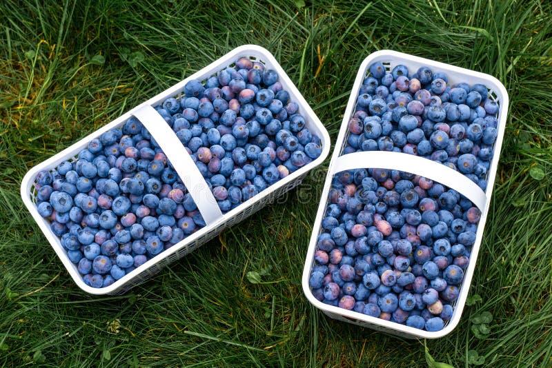 Mirtilos em duas cestas brancas plásticas imagens de stock royalty free