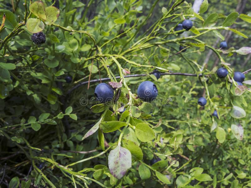 Mirtilos maduros na floresta imagens de stock