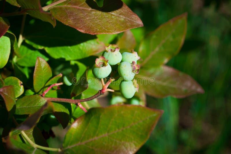Mirtilos orgânicos verdes frescos no arbusto Fim acima fotos de stock royalty free