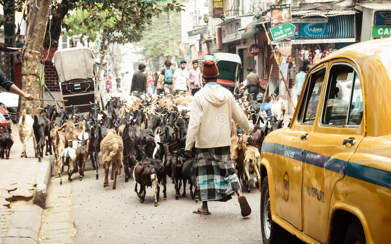 Mirza Ghalib Street, New Market, Kolkata, December 2, 2018: A Muslim butcher man taking domestic cattle to slaughter house during royalty free stock photography