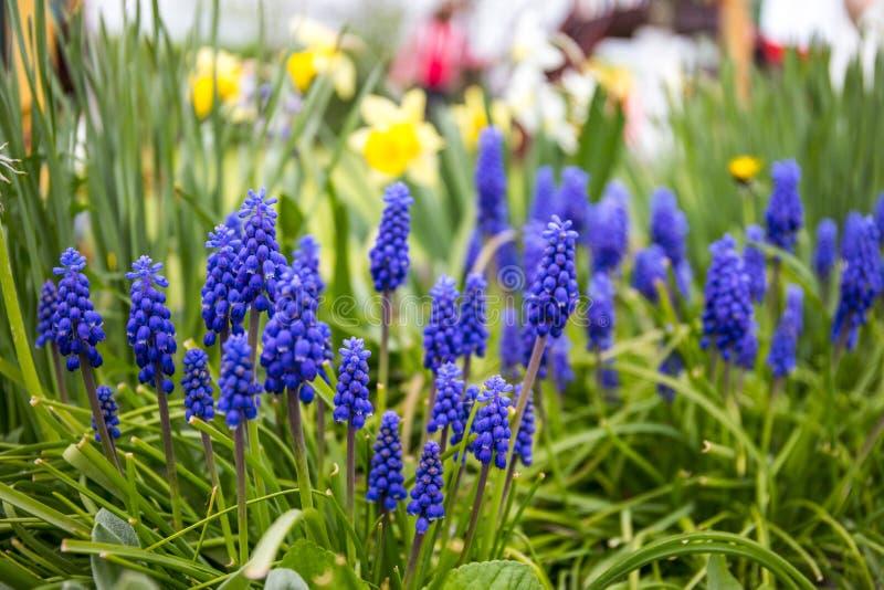 Mis flores del azul en mi jardín maravilloso imagen de archivo libre de regalías