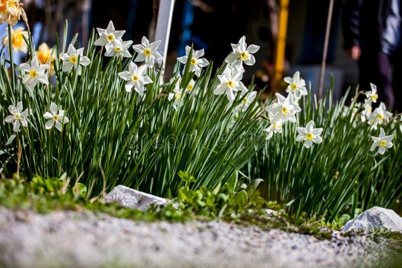 Mis narcisos blancos preciosos florecieron en primavera foto de archivo