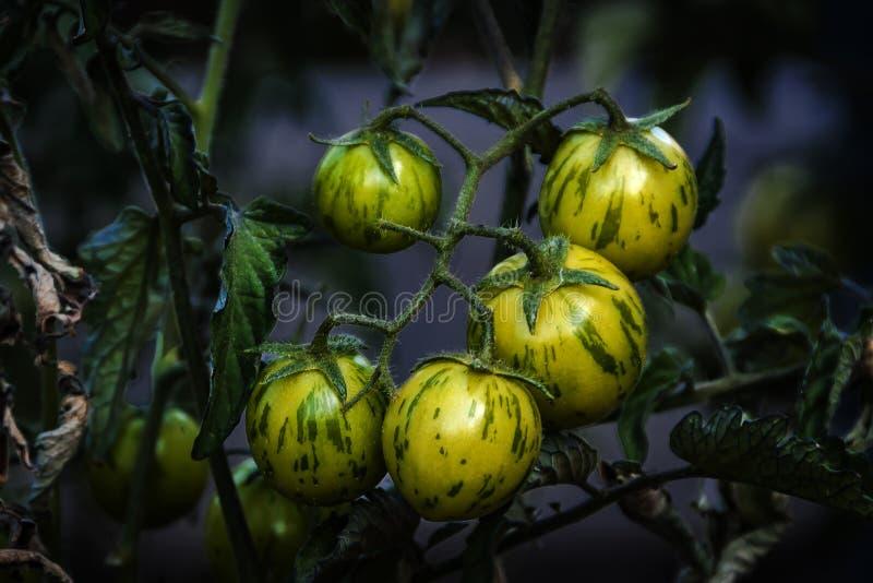 Mis pequeños tomates de cereza imagen de archivo libre de regalías