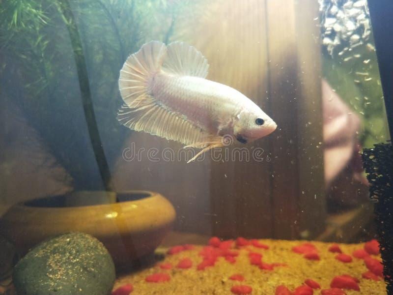Mis pescados del betta foto de archivo