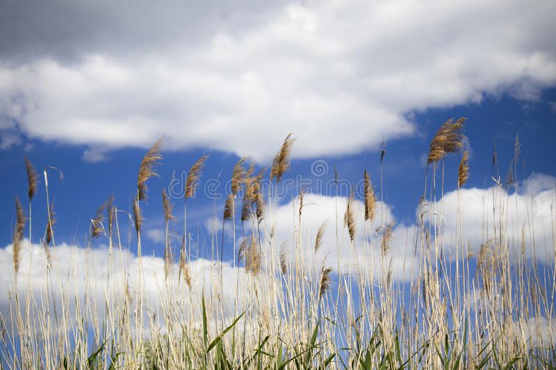 Miscanthus Chinese on strong wind stock image
