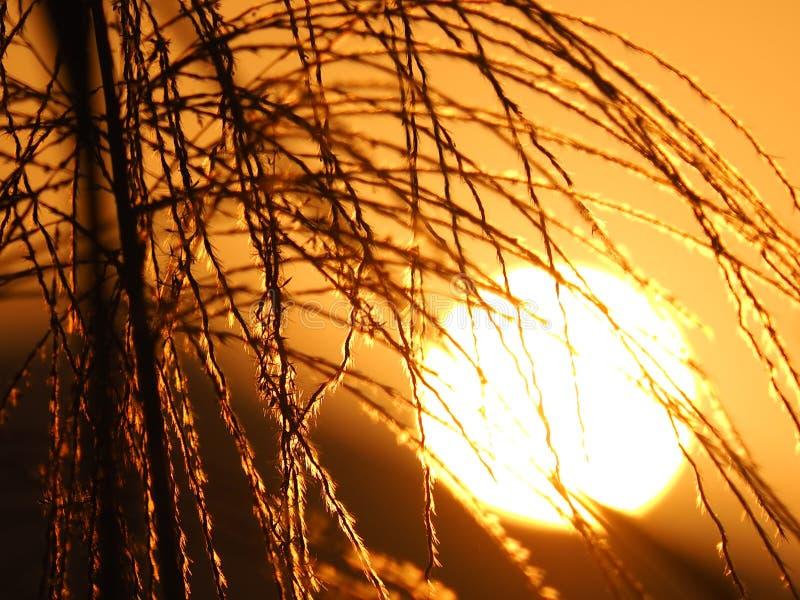 Miscanthus e por do sol fotos de stock royalty free