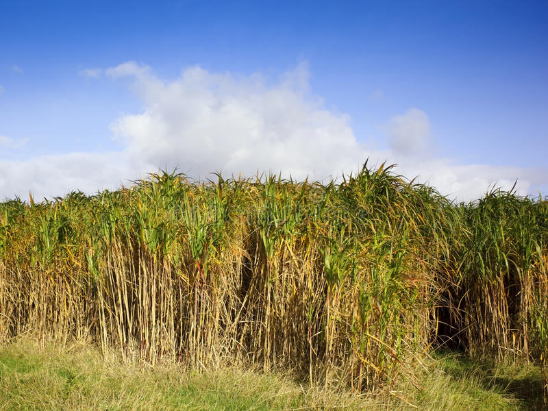 Download Miscanthus elephant grass stock photo. Image of energy - 11388074