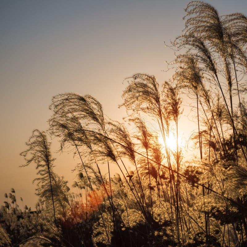 Miscanthus fiorisce il primo piano fotografie stock