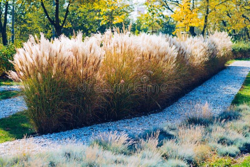 Miscanthus gigantiskt gräs i höstfärger arkivfoto