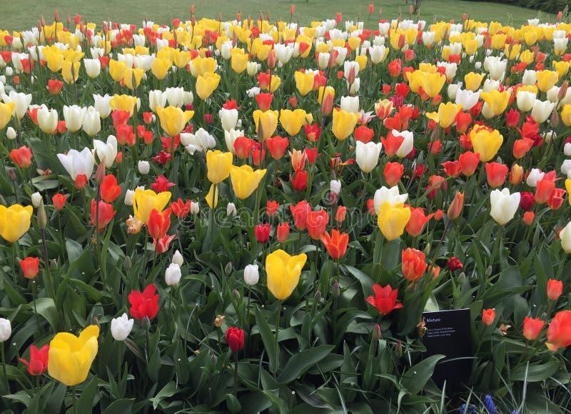 Miscela del tulipano fotografie stock