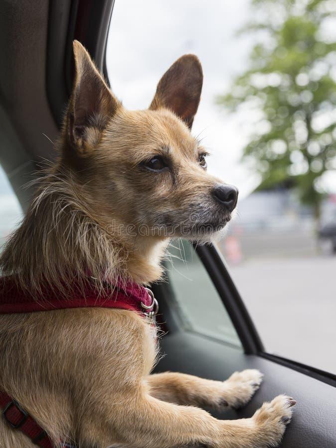Miscela della chihuahua con il cablaggio rosso che aspetta dentro l'automobile fotografie stock libere da diritti